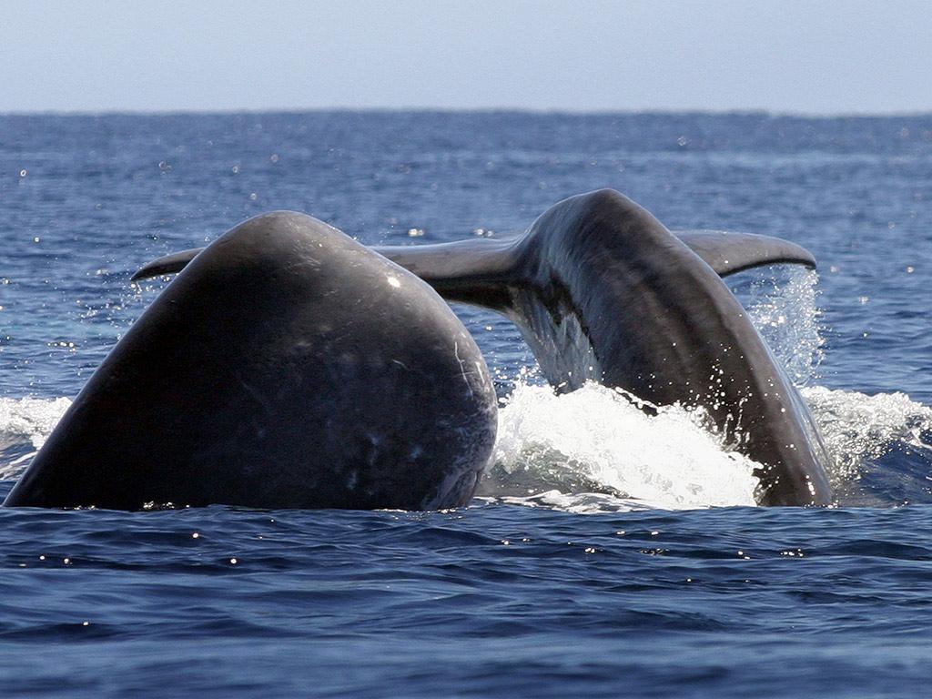 São Miguel - Avistamiento de ballenas